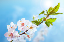Beautiful Blooming Branch Of The Tree. Closeup Of A Flowers. Spring In The Garden. Strong Morning Sun. Nature Background.