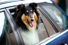 A Rough Collie Dog Looks Out Of A Car Window