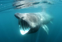 A Basking Shark Swimming Just Below The Water's Surface Off Padstow, North Cornwall