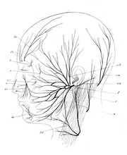 The Nerves Of Human Head In Th...