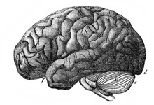 The Brain Of Human From A Side...