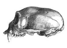 The Skull Of The Monkey, From A Side In The Old Book The Human, By K. Fogt, 1866, St. Petersburg