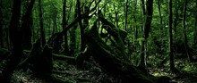 Yakushima Forest With Old Moss...