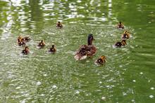 A Mallard Duck And Her Ducklin...