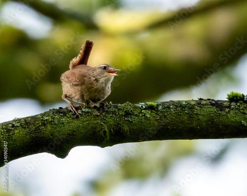 wren on a branch Canvas-taulu