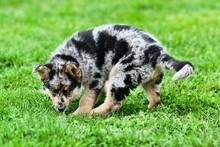 Dog On Grass, Photo As A Background , Australian German Shepard Sheperd Dog