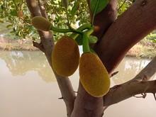 Jackfruit Fruit Or Vegetable Branch Hanging On Tree Background Closeup In The Garden.