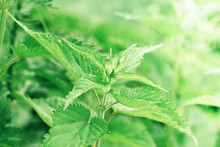 A Bunch Of Common Nettles In T...