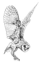 Sketch Of Barn Owl. Isolated O...