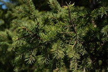 Green Pine Branch. Texture For...