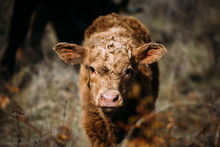 Brown Cow Calf Looking At Camera While Standing On A Meadow