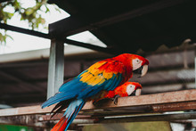 From Below Of Big Macaw Parrots With Red Orange And Blue Feathers On Metal Fence In Zoo
