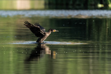 Amazing Wild Goose On Pond In ...