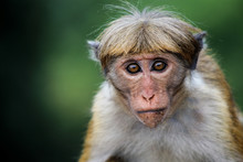 Sri Lankan Monkey
