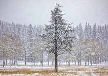 Tranquil Canadian Winter Scenery With Snowfall In Coniferous Forest And Field With Yellow Grass