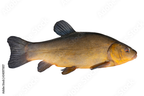 Fotografija Alive golden tench fish with flowing fins isolated on white background