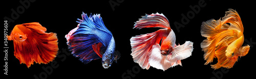 Cuadros en Lienzo Thai fighting fish moving dancing action with nice halfmoon tail fin, multicolor on black background
