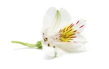 Peruvian Lily (Alstroemeria) F...