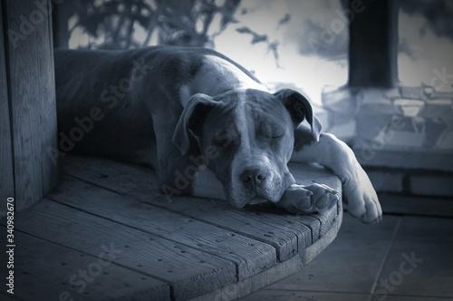Pit Bull Terrier Sleeping On Wooden Table Fototapete