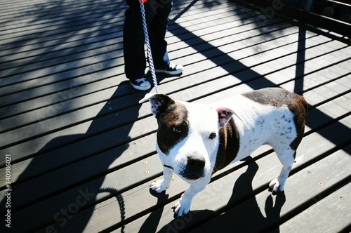 High Angle View Of Pitbull And Man Standing On Boardwalk - fototapety na wymiar