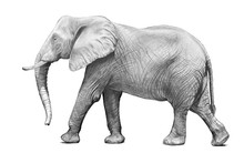 African Elephant Illustration ...