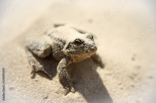 Canvas Print frog, ugly, sand, river, lake, beach, slimy, summer, spring, wet, little, animal