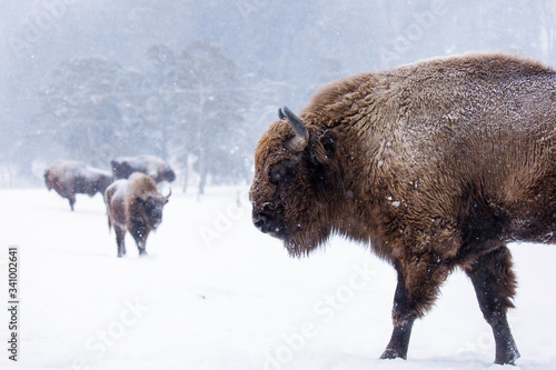 Fototapeta Bison or Aurochs in winter season in there habitat