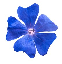 Ceratostigma Flower