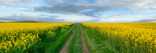 Rapeseed Field With Pathway, B...