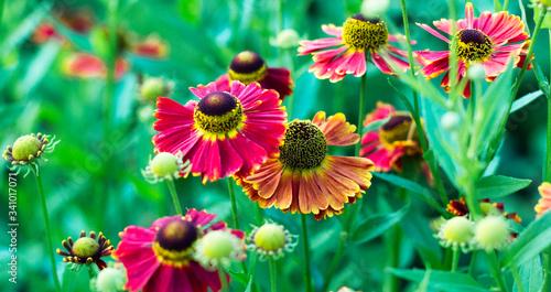 Black Eyed Susan, Rudbeckia hirta, red flower in the flowerbed Fototapet