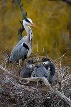 Great Grey Heron With Babies