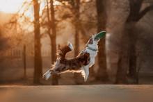 Border Collie Catches Frisbee ...