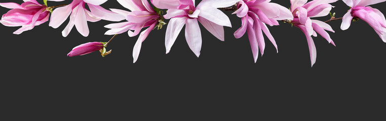 Panel Szklany Do kuchni Floral banner, header with copy space. Pink magnolia isolated on dark grey background. Natural flowers wallpaper or greeting card.