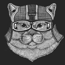 British Shorthair Cat. Scottis...