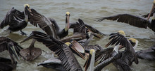 Pelicans Eating Close To A Fishing Boat