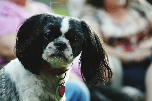 Valokuva Close-up Of Cavalier King Charles Spaniel