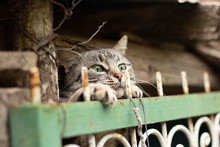 The Cat Behind The Fence In Th...