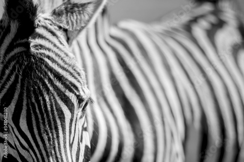 Close-up Of Zebra - fototapety na wymiar