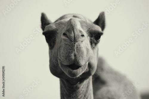 Close-up Portrait Of A Camel Fototapete