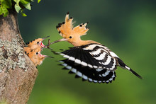 Family Of Eurasian Hoopoe, Upupa Epops, Breeding In Nesting Season In Summer Nature At Sunrise. Adult Bird With Open Crest And Striped Wings In Flight Hovering In Air And Feeding Young Chicks.