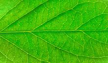 Green Leaf Texture Background....