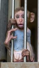 Monkey In A Cage. Rhesus Macaque - Macaca Mulatta