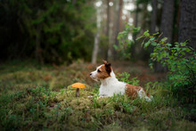 Cute Dog Top View. Funny Jack Russell Terrier In The Forest