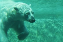 Polar Bear Swimming In Sea