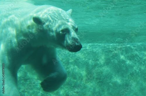 Canvastavla Polar Bear Swimming In Sea