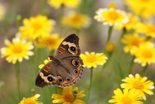 Common Buckeye In The Wildflow...