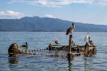 Pelicans In A Fish Bait Cage I...