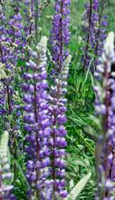 Lupine Flowers Grow In The Field