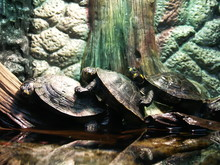 Side View Of Turtles Mating Against Tree Trunk