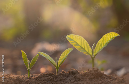 Fototapety, obrazy: Seed plants are growing.They are growing step by step.One has root and grow under the soil and the other seed has leaves.They are growing among sunlight.Photo new life and  growing concept.